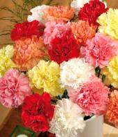Carnation Carnival Gifts toCottonpet, flowers to Cottonpet same day delivery